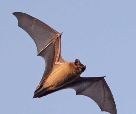 De ce sunt atât de periculoase virusurile transmise de lilieci? Febra devine inutilă!