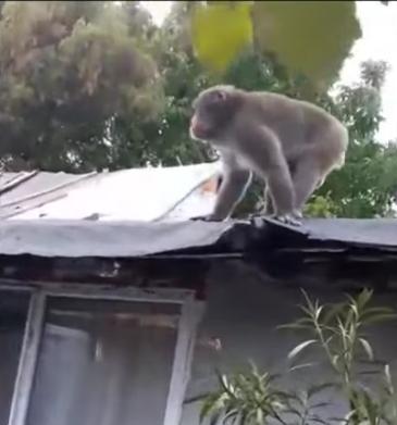 Pablo, maimuța lui Nuțu Cămătaru, a ajuns la Visul Luanei