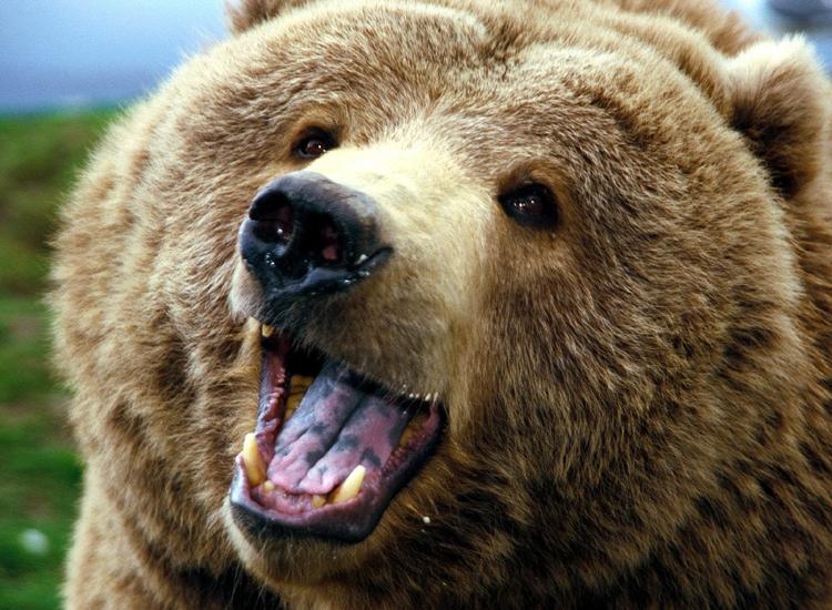 Turist polonez, momente de coșmar trăite în Maramureș din cauza unei ursoaice!