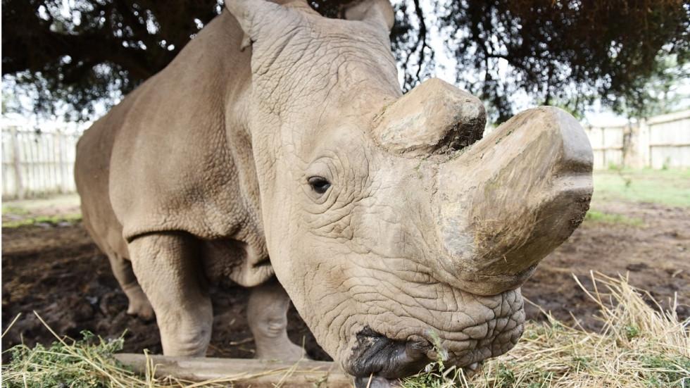 Rinocerul alb, o subspecie aproape dispărută. Încercări disperate de salvare