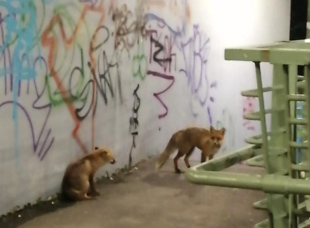 Animale sălbatice surprinse la plimbare în Arad