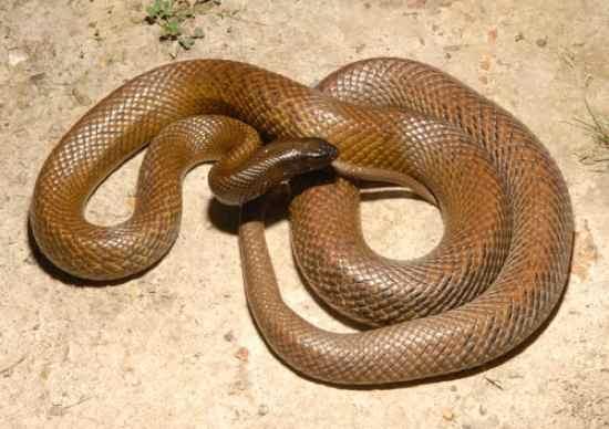 Veninul de șarpe, medicamentul viitorului. Cei mai veninoși șerpi din lume