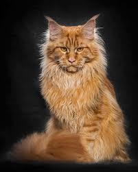 Tulburătoarea frumuseţe a pisicilor Maine Coon-cu faţă umană. Galerie foto în articol