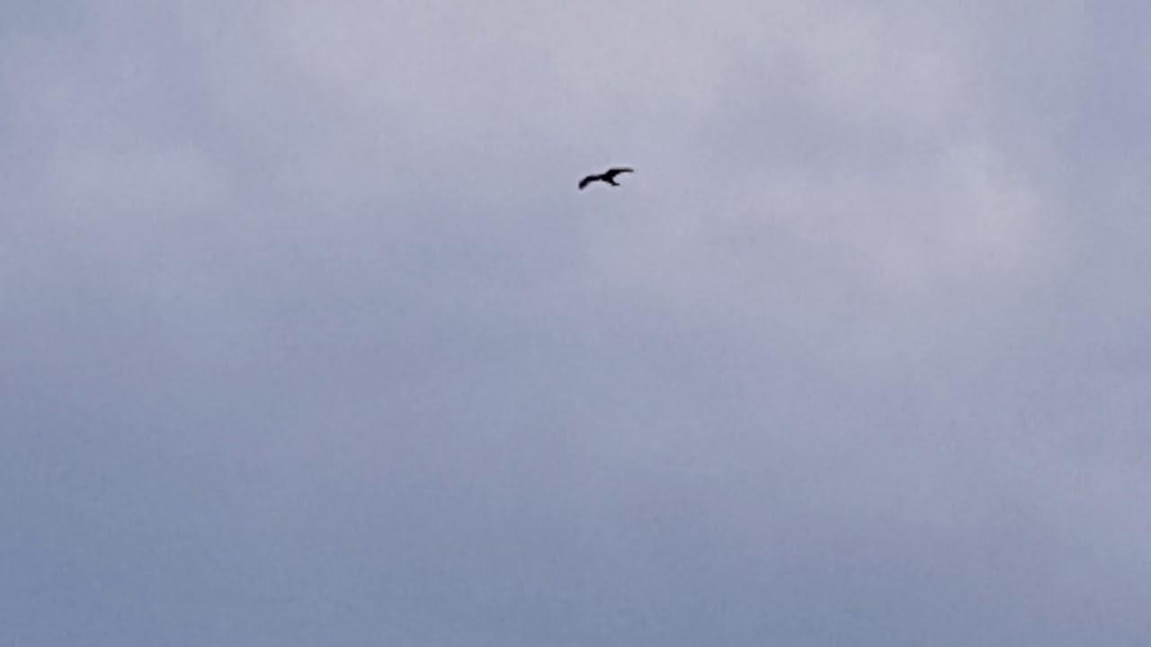 Pasărea care bate orice avion. A zburat neîntrerupt din Alaska în Noua Zeelandă
